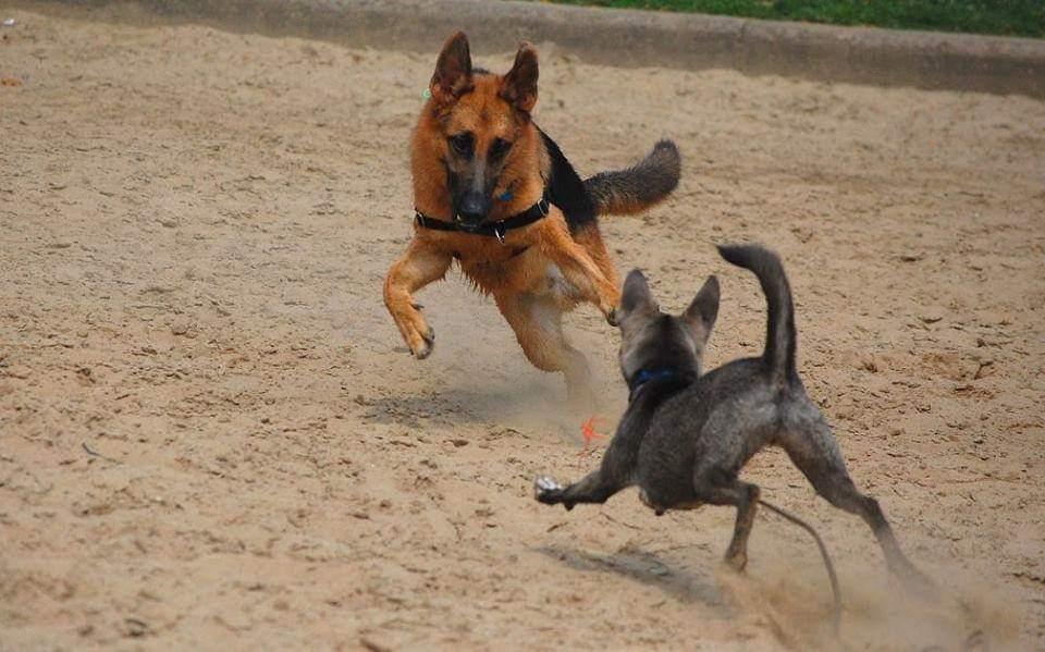 Tripawd dog exercise